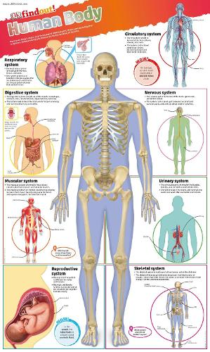 DKfindout! Human Body Poster - DKfindout! (Wallchart)