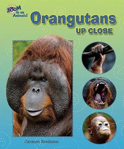 Orangutans Up Close - Zoom in on Animals! (Hardback)