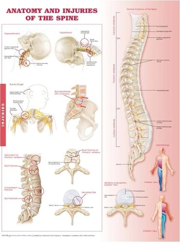 Anatomy and Injuries of the Spine Anatomical Chart (Wallchart)