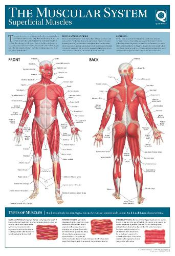 Human Anatomy Wallchart: The Muscular System (Poster)