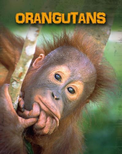 Orangutans - InfoSearch: Living in the Wild: Primates (Paperback)