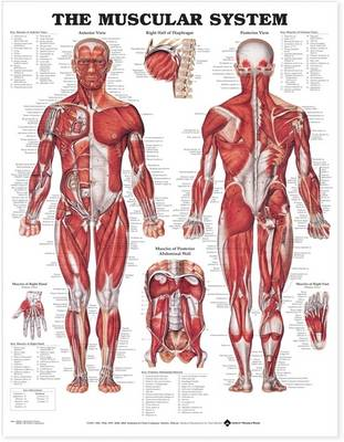 The Muscular System 3D Raised Relief Chart (Wallchart)