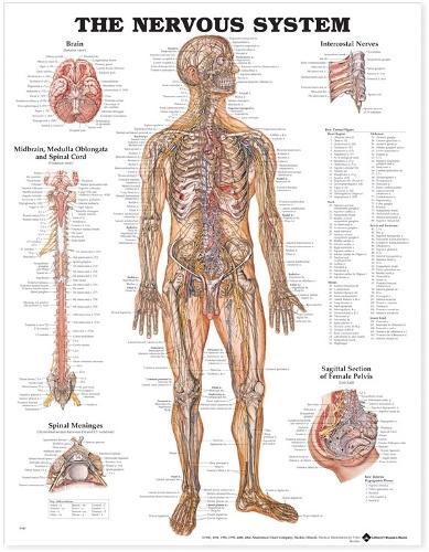The Nervous System Anatomical Chart (Wallchart)