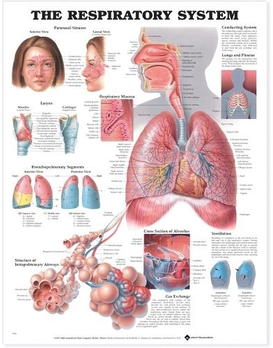 The Respiratory System Anatomical Chart (Wallchart)