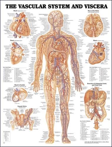 Vascular System and Viscera Anatomical Chart (Wallchart)