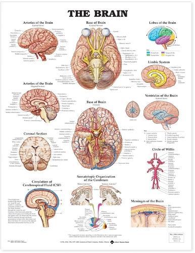 The Brain Anatomical Chart (Wallchart)