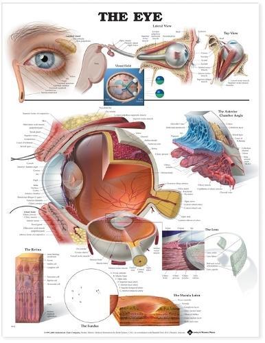The Eye Anatomical Chart (Wallchart)