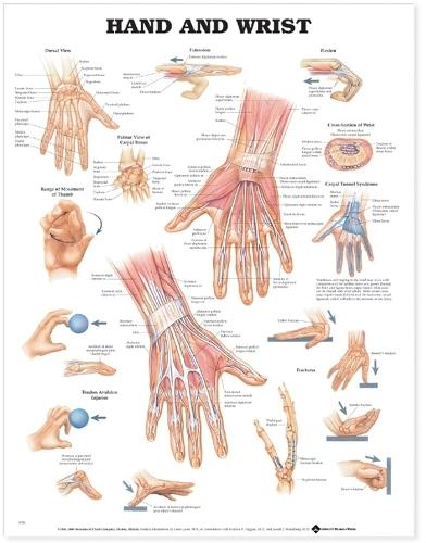 Hand and Wrist Anatomical Chart (Wallchart)