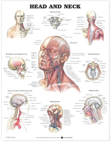 Head and Neck Anatomical Chart (Wallchart)