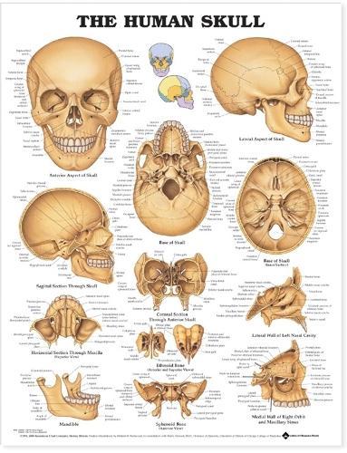 The Human Skull Anatomical Chart (Wallchart)