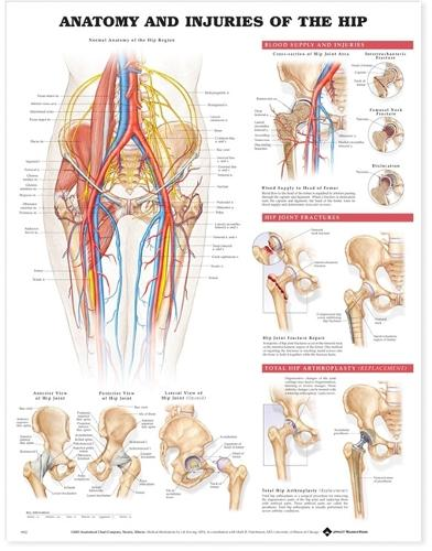Anatomy and Injuries of the Hip Anatomical Chart (Wallchart)