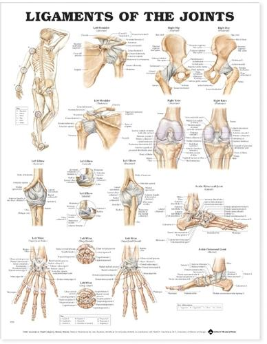 Ligaments of the Joints Anatomical Chart (Wallchart)