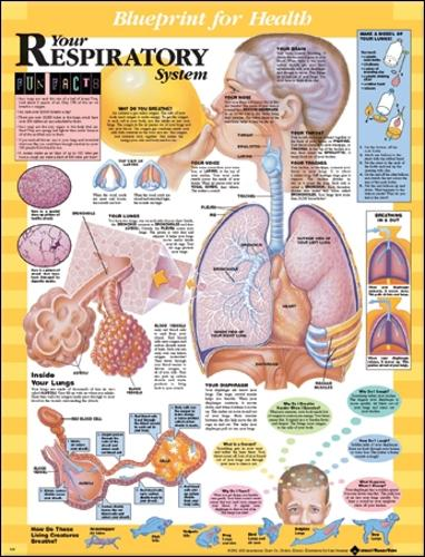 Blueprint for Health Your Respiratory System Chart (Wallchart)