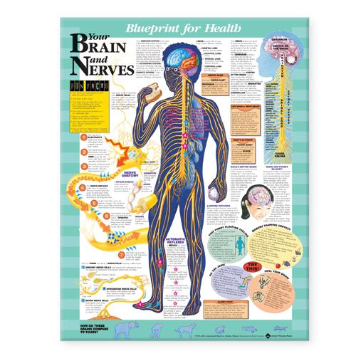 Blueprint for Health Your Brain and Nerves Chart (Wallchart)