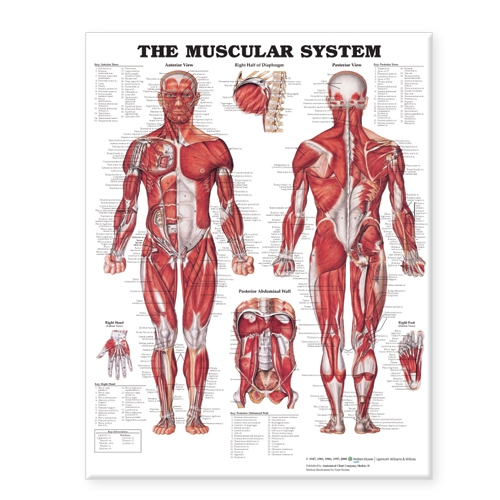 """The Muscular System Giant Chart Laminated: 42"""" x 62"""" chart (Poster)"""