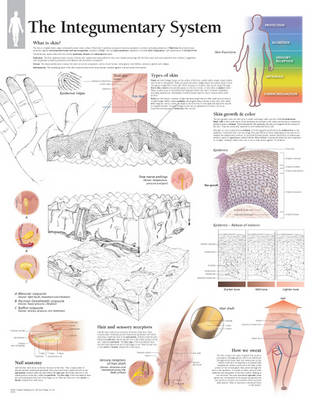 Integumentary System Laminated Poster (Poster)
