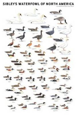 Sibley's Waterfowl of North America (Poster)
