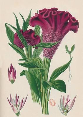 Carnet Blanc, Celosia Cristata, Dessin 19e Si�cle - Bnf Botanique (Paperback)