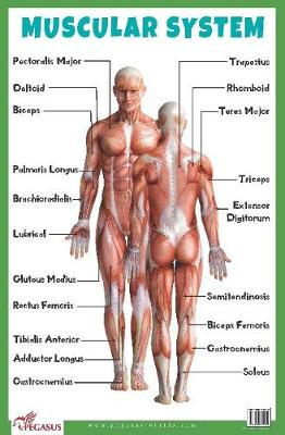 Muscular System Educational Chart (Poster)