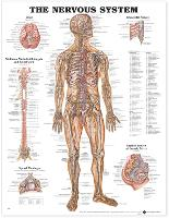 The Nervous System Anatomical Chart (Wallchart)