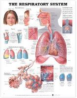 The Respiratory System Anatomical Chart (Wallchart)