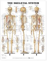 The Skeletal System Anatomical Chart (Wallchart)