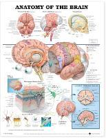 Anatomy of the Brain Anatomical Chart (Wallchart)