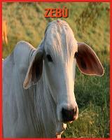 Zebu: Immagini bellissime e fatti interessanti Libro per bambini sui Zebu (Paperback)