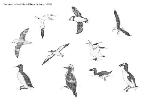 Bird Illustrations by Jane Milloy ©Usborne Publishing Ltd 2017